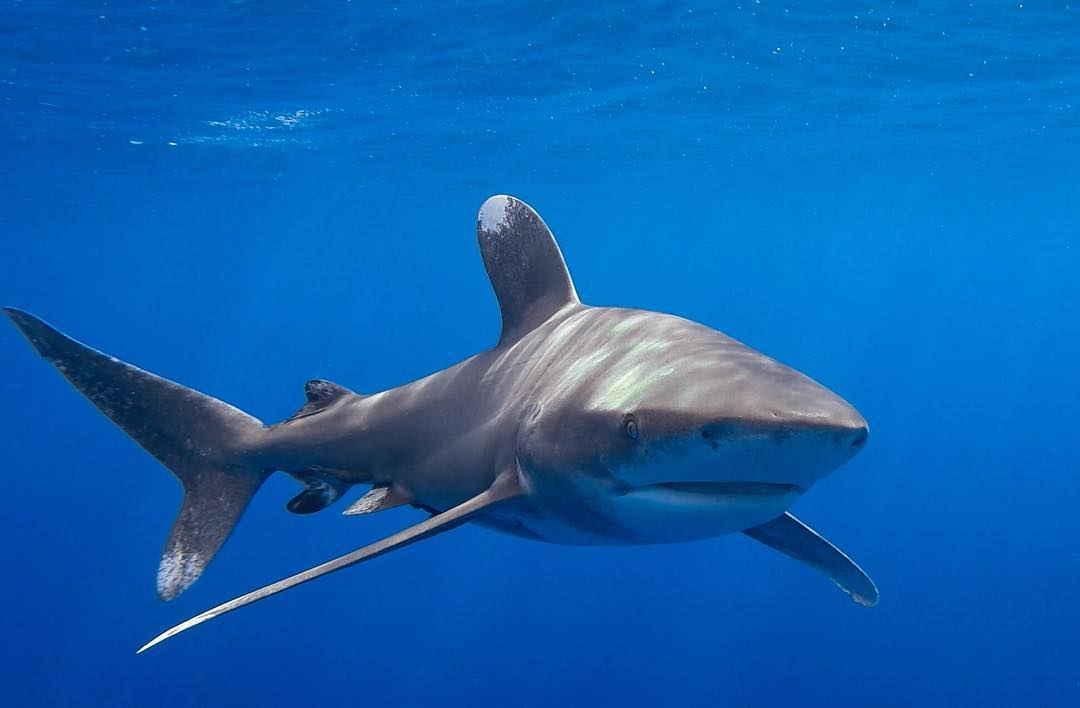 An image of an oceanic whitetip in the waters of the Hawaiian islands.