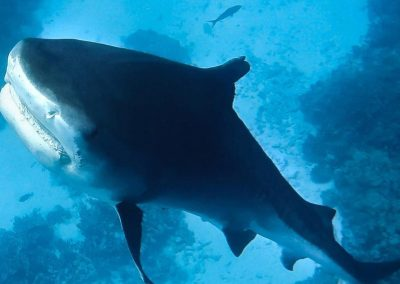 An image of a tiger shark on a Hawaiian Reef Ecosystem taken by Kona Shark Diving