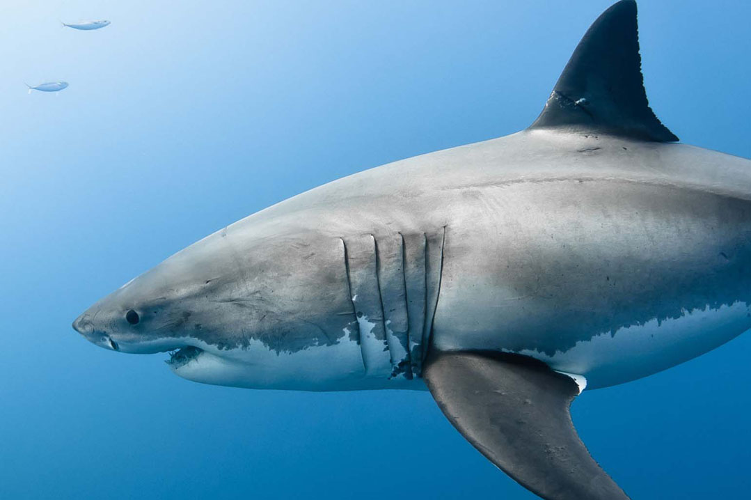 An image of a healthy, large Great white shark in the waters off of the coast of Kona, Hawaii