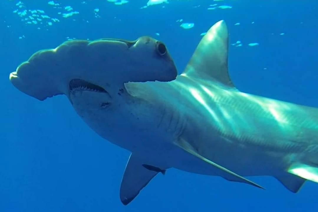 An image of a powerful hammerhead shark, one of the regular sharks of Hawaii.