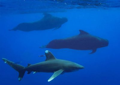 kona-shark-diving-white-tip-pilot-whales