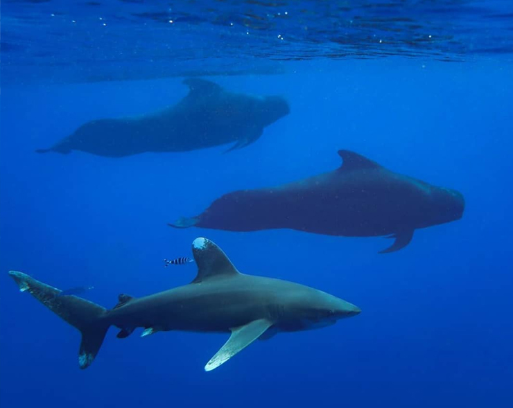 An image of an oceanic whitetip shark swimming with Hawaiian Pilot Whales.