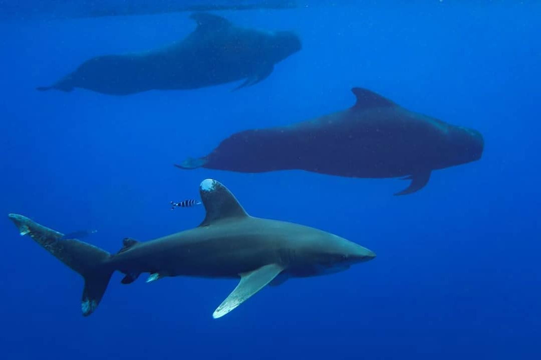 An image of an oceanic whitetip shark swimming with pilot whales off the coast of Kona