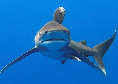 An image of a gorgeous oceanic whitetip shark offshore Kona on the Big Island