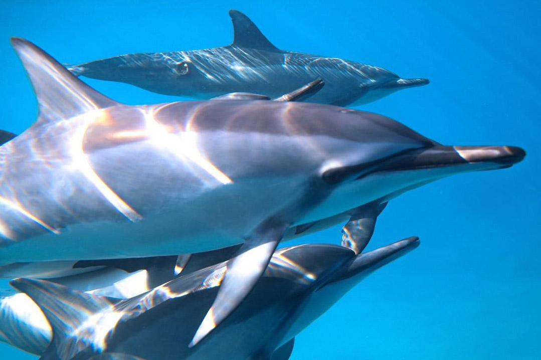 An image of a pod of Hawaiian dolphin swimming in the waters off of Kona on a Kona Shark Diving adventure.