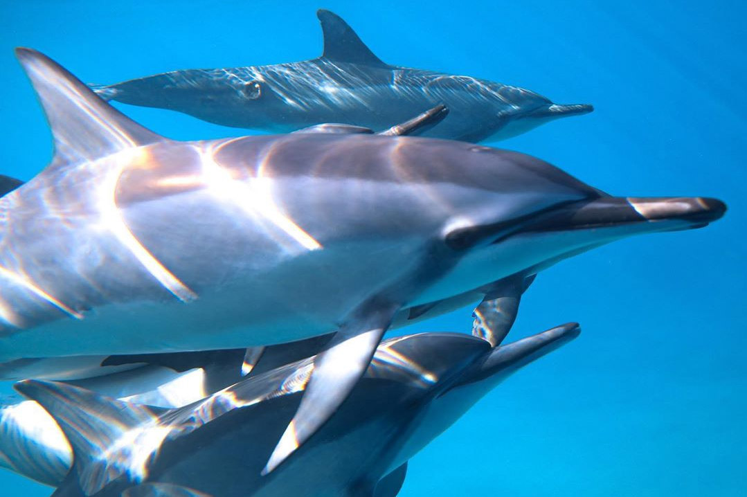 An image of Hawaiian dolphins swimming underwater off the coast of Kona on the Big Island of Hawaii