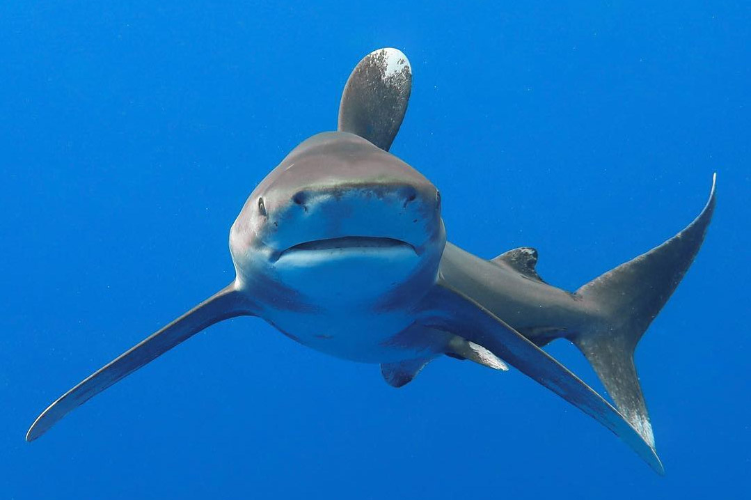 An image of an oceanic whitetip shark looking right at the photographer in Hawaii.