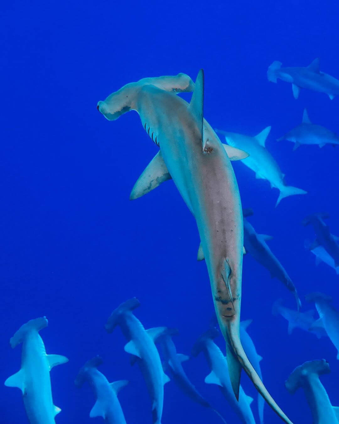 An image of a school of hammerhead sharks swimming in the deep blue waters off the coast of Hawaii.